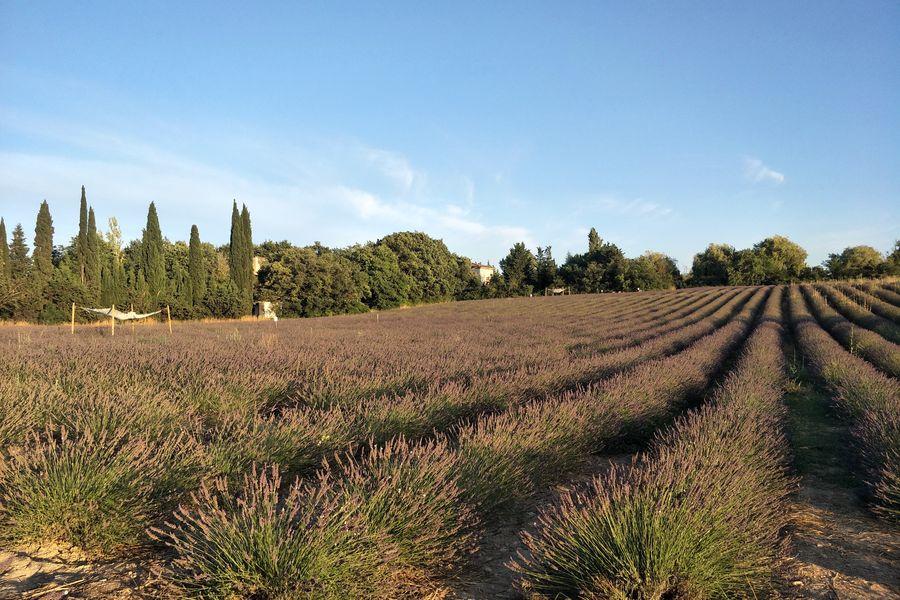 Terre Ugo Maison de Lavande Le champs de lavande